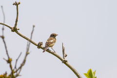 Stonechat (Saxicola rubicola) Royalty Free Stock Images