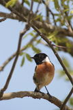 Stonechat (Saxicola torquata). A small bird (male stock photos