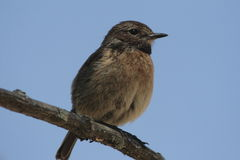 Stonechat (Saxicola torquata). A small bird (female royalty free stock photos