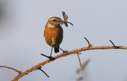 Stonechat, Saxicola torquata Stock Photos