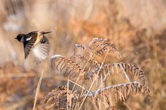 A Stonechat Flying Through a Meadow During Winter and Knocks Fro. A Stonechat Saxicola torquata through a frost covered meadow during Winter and knocks the frost royalty free stock images
