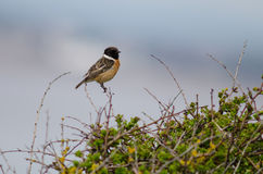 Stonechat (Saxicola torquata) male perched on bush against blue sky. Bird in the family Turdidae, calling from perch on low vegetation, showing black head and Royalty Free Stock Photo