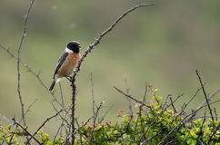 Stonechat (Saxicola torquata) male perched on bush. Bird in the family Turdidae, calling from perch on bramble, showing black head and white collar Stock Photo