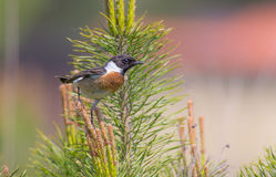 Stonechat - Saxicola torquata Royalty Free Stock Photos