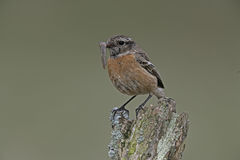 Stonechat,  Saxicola torquata Stock Photo