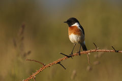 Stonechat, Saxicola torquata Royalty Free Stock Photos