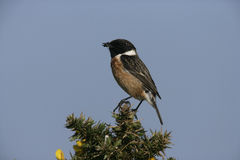 Stonechat, Saxicola torquata Royalty Free Stock Photography