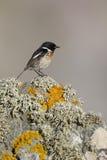 Stonechat, Saxicola torquata. Single male on rock Royalty Free Stock Image