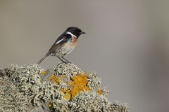 Stonechat, Saxicola torquata. Single male on rock Royalty Free Stock Images