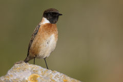 Stonechat, Saxicola torquata. Single male on rock, Somerset, January 2015 Stock Photography