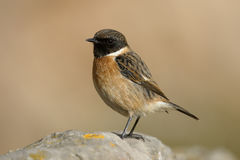 Stonechat, Saxicola torquata Royalty Free Stock Photo