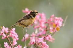 Stonechat Saxicola torquatus on the branch.  Royalty Free Stock Image