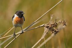 Stonechat Saxicola torquatus on the branch.  Royalty Free Stock Images