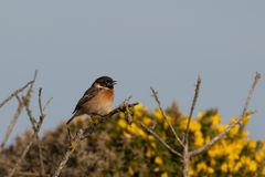 Stonechat singing on a gorse bush stock image