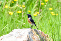 Stonechat Royalty Free Stock Image