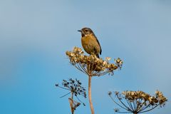 A stonechat Stock Image