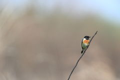 Stonechat Stock Photo