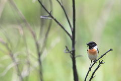 Stonechat on twig Royalty Free Stock Photography