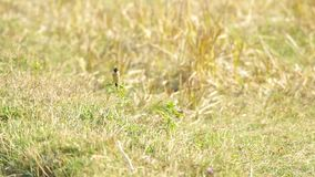 Stonechat on the weed stock video footage