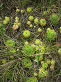 Stonecrop αλσυλλίων Στοκ Εικόνα