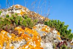 Stonecrop και λειχήνων ανάπτυξη σε μια πέτρα Στοκ Φωτογραφίες