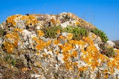 Stonecrop και λειχήνων ανάπτυξη σε μια πέτρα Στοκ Εικόνες
