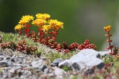 Stonecrop καταρρακτών λουλούδια - Sedum divergens Στοκ Εικόνες