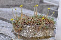 Stonecrop της Angelina λουλούδι Στοκ φωτογραφία με δικαίωμα ελεύθερης χρήσης