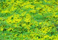 Stonecrop background Stock Images