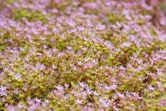 Stonecrop caucasiano, spurium de Sedum Foto de Stock Royalty Free
