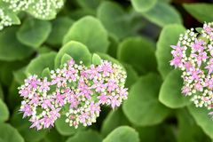 Stonecrop flower-Hylotelephium Royalty Free Stock Images
