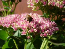 Stonecrop. Flowers in autumn and allocates a lot of nectar so it is very much like a bee Royalty Free Stock Photo