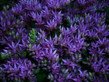 Stonecrop. Flowers resemble a scattering of small stars.very beautiful view Stock Photography