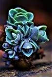 Stonecrop grono Zdjęcia Stock