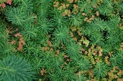 Stonecrop. Grows on alpine hill Stock Photos