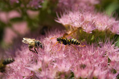 Stonecrop insects Royalty Free Stock Images