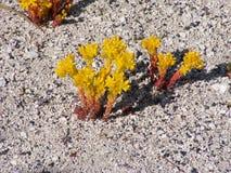 Stonecrop Lanceleaved Στοκ Φωτογραφίες