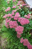 Stonecrop large L.Sedum maximum grows in an autumn garden Stock Photo
