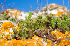 Stonecrop and lichen growing in a stone Stock Images