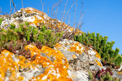 Stonecrop and lichen growing in a stone Stock Photos