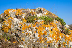 Stonecrop and lichen growing in a stone Stock Photo