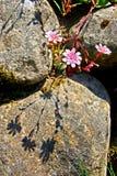 Stonecrop Stock Image