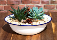 Stonecrop plants in a old enamel wasch bowl. Stonecrop plants in a old enamel wasch bowl, this plants like sun and need less water Stock Images