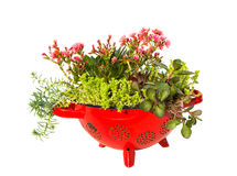 Stonecrop plants in a old kitchen sive. Stock Image
