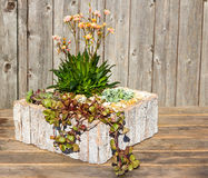 Stonecrop plants in a wooden flower pot. Stonecrop plants like Lewitza in a modern wooden flower pot, this plants like sun, for inside and outside decoration Royalty Free Stock Images