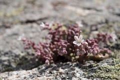 Stonecrop, Sedum brevifolium Stock Photography