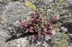 Stonecrop, Sedum brevifolium Royalty Free Stock Photos