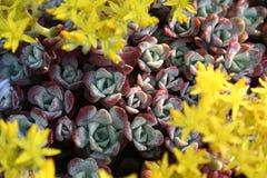 Stonecrop Sedum z żółtymi kwiatami Obrazy Royalty Free