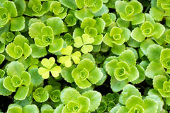 Stonecrop Stock Photos