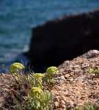 Stonecrops rockery plants and coast background Royalty Free Stock Images